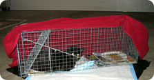 A cat that has been trapped in a humane trap to be taken to the vet for vaccinations and to be spayed or neutered.